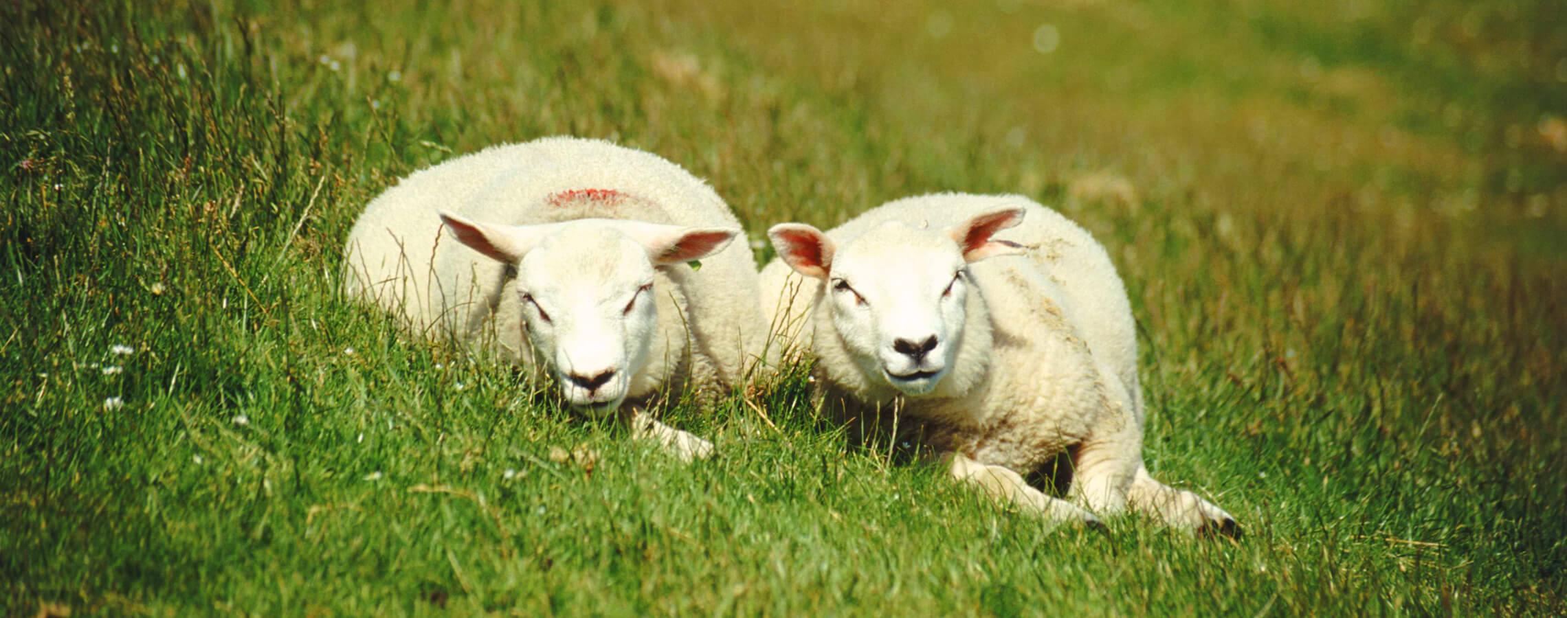 Sheep - HJ Lea Oakes